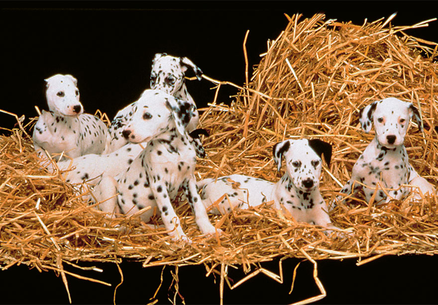 The Puppies (Dalmatian), 101 Dalmatians, 1996