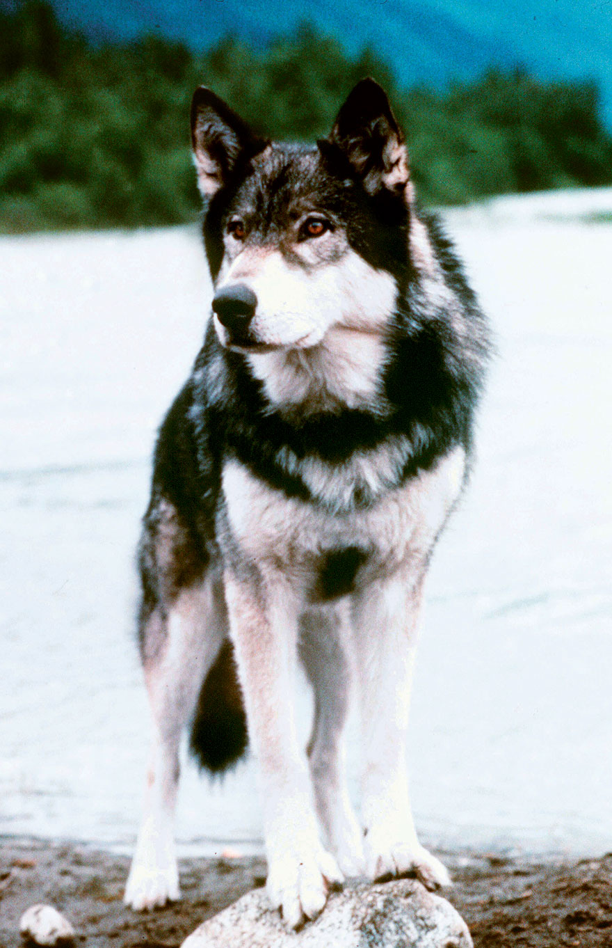 White Fang (Wolfdog), White Fang, 1991