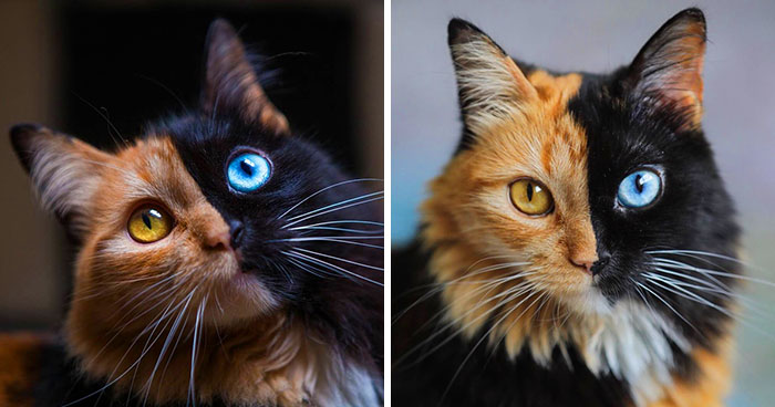 30 Pics Showcase How Unique This Two-Faced Cat Called Quimera Is