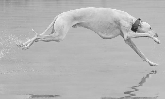 Greyhounds Through My Lens