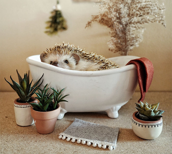 Cinnamon The Hedgehog Is Living Her Best Life, Here's Her Average Day (17 Pics)