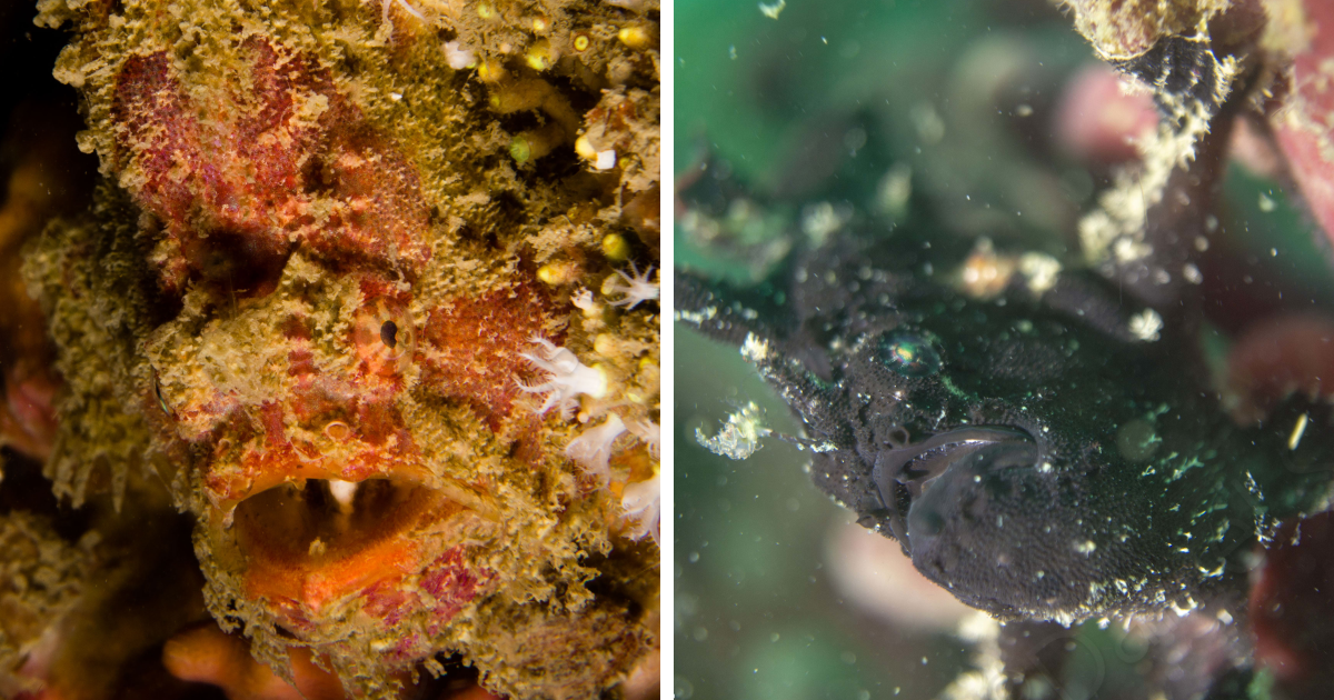 I Spent Hours Scuba Diving And Photographing Frogfish Which Are Really Hard To Find Due To Their Perfect Camouflage