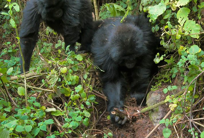 Astonishing Picture Shows Two Young Gorillas Dismantling The Traps Set By The Poachers That Killed Their Friend