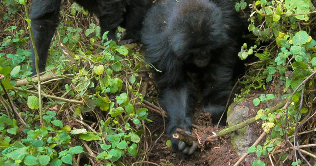 After A Snare Killed One Of Their Kind, Two Gorillas Were Observed Finding And Breaking Traps