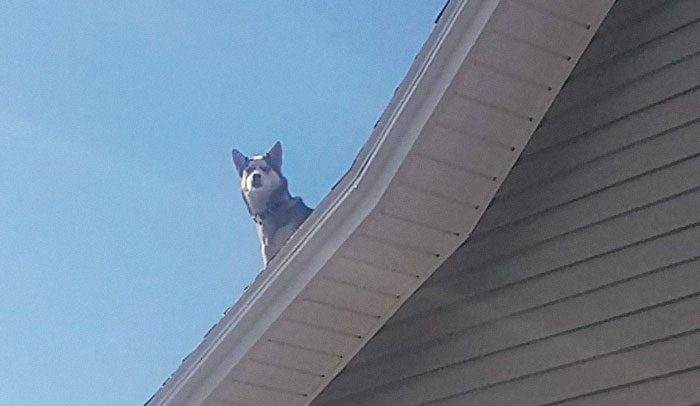 Cop Calls This Guy To Inform Him That His Husky Is Sitting On The Roof Of His House, Provides Hilarious Evidence
