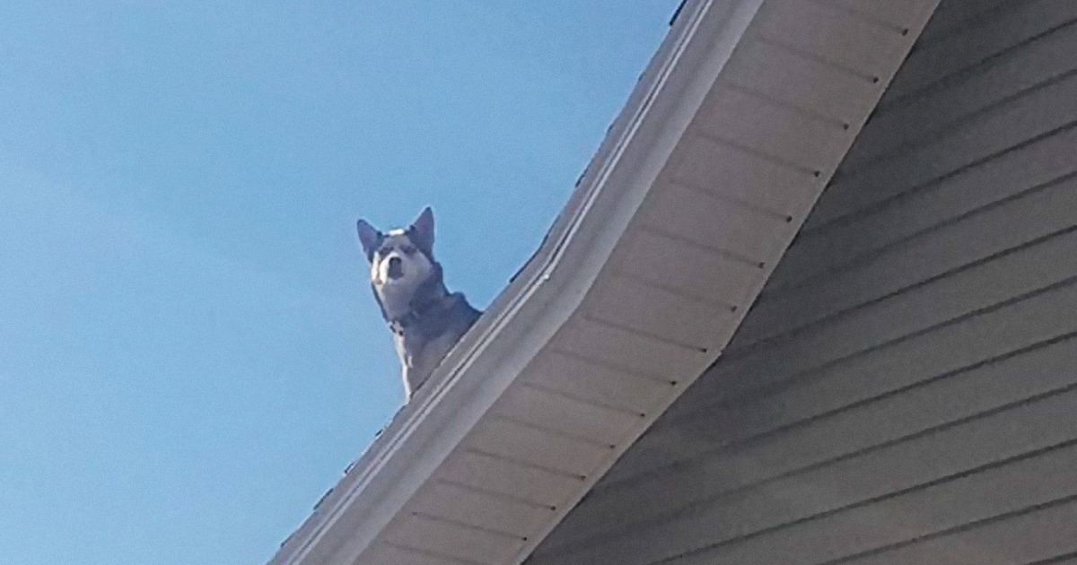 Woman Leaves The Bedroom Window Open And The Next Thing She Knows, Her Family's Husky Is Chilling On The Roof