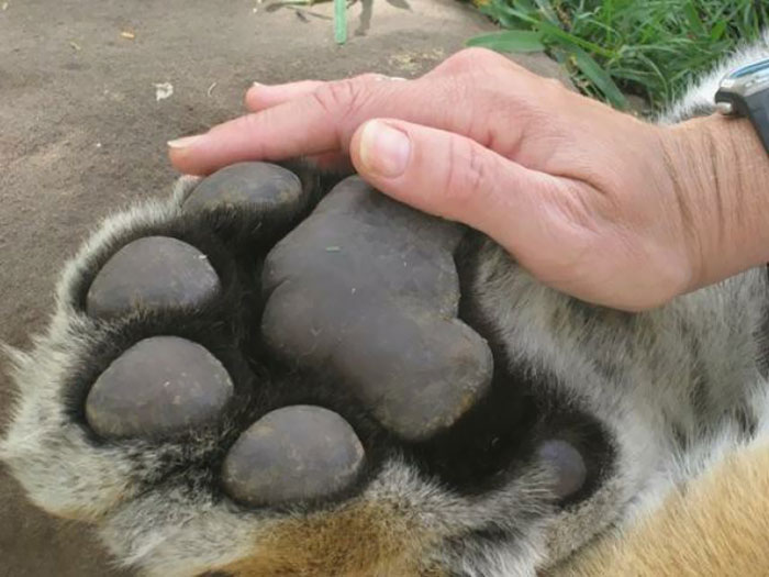 The Size Of A Tiger Paw Compared To A Man's Hand