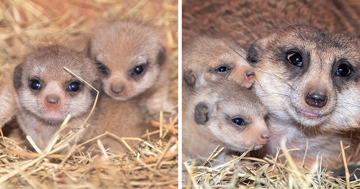 Adorable Meerkat Pups Born At Zoo Miami For The First Time In Its History
