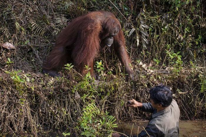 Орангутан помогает лесничему