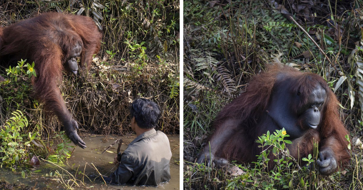 Orangutan Reaches Out To Help A Forest Warden In Borneo