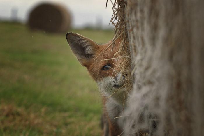 orphaned-fox-photography-mark-strachan-p