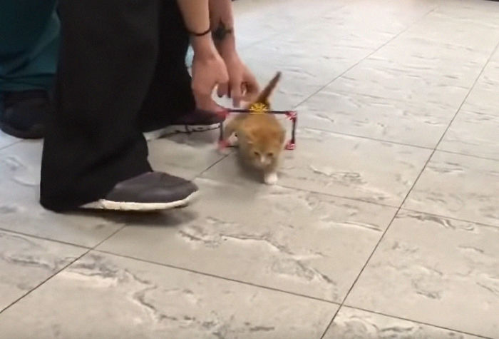 Paralyzed Kitten Couldn't Contain His Zooms After Getting A Wheelchair, Grew Up Into A Handsome Cat