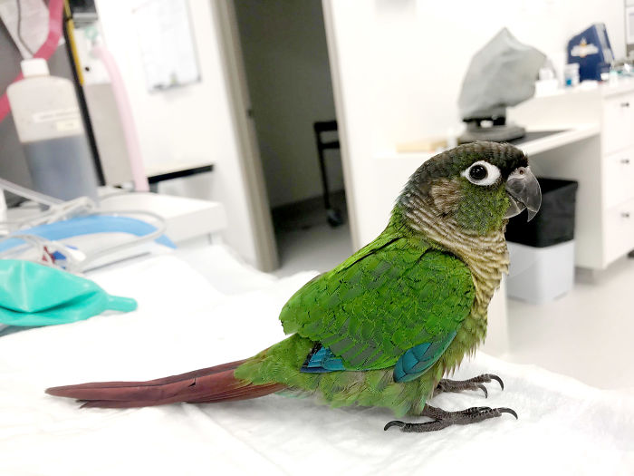 Vet Gives Parrot New Wings After Someone Severely Trims Them
