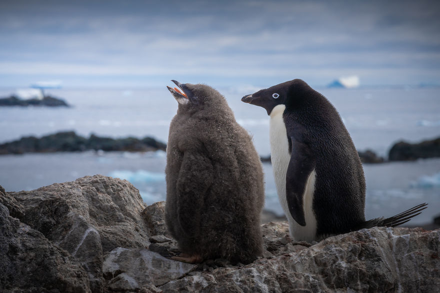 Cuteness Overload In These Photos Of Penguins And Their Chicks