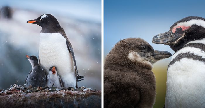 I Photographed Penguins In Antarctica And They Are Cuteness Overload (31 Pics)
