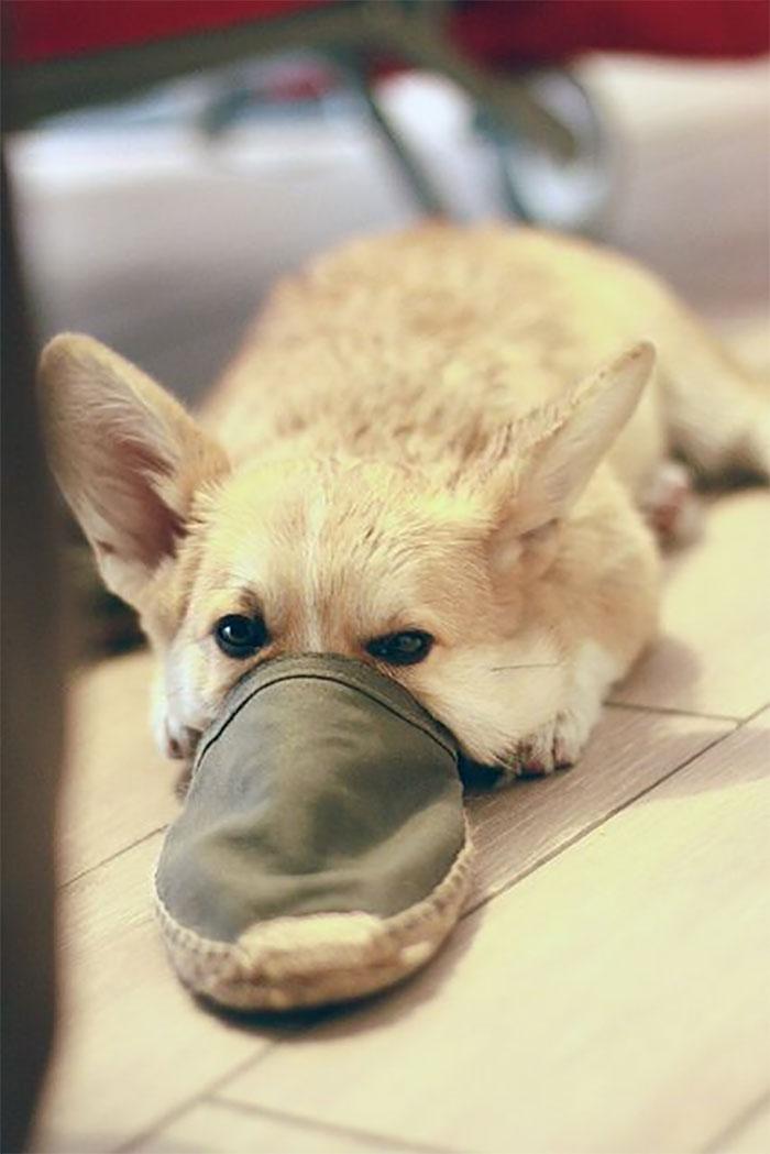 Platypus-Funny-Dog-Pics