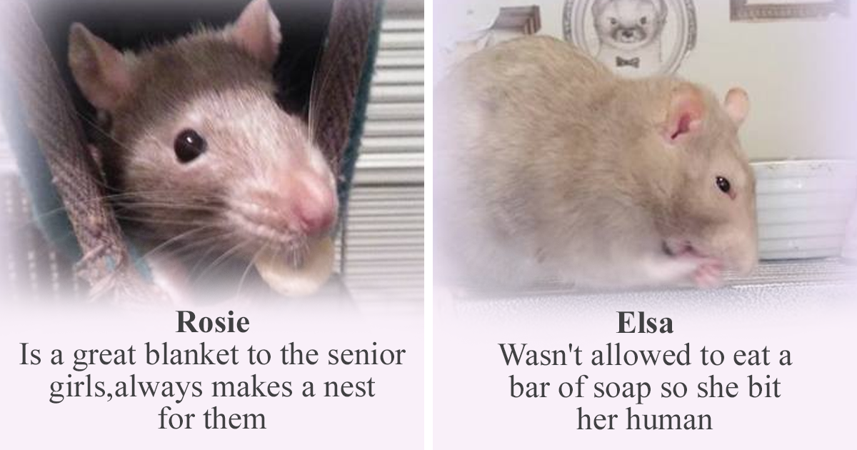 Rat Sanctuary Is Holding Its Weekly 'Competition' Of Worst And Best Rats And Here Are 20 Finalists