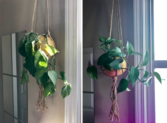 Less Than A Day After Watering...my Pothos Is Dramatic Af