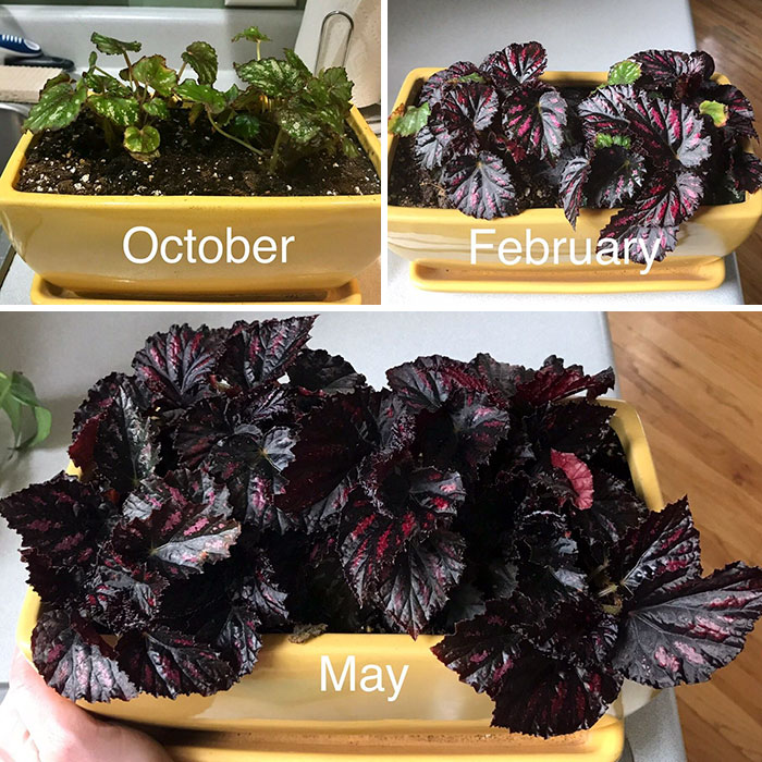For Some Reason This Begonia Has Been One Of My Most Successful Saves From Home Depot. I Love The Color Change!