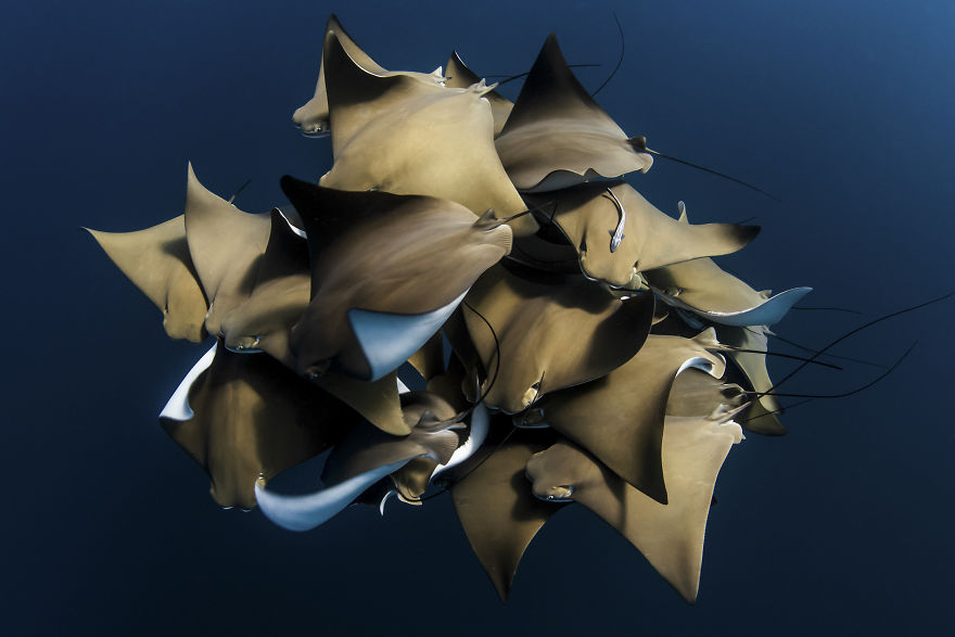 Behaviour Category: 'A Fever Of Cownose Rays' By Alex Kydd, Australia