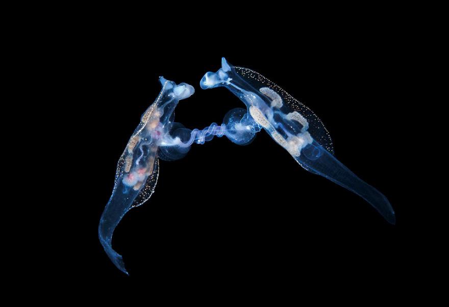 Behaviour Category: 'Mating Nudibranchs' By Steven Kovacs, USA