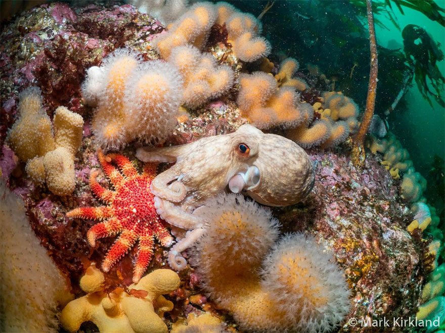 British Waters Wide Angle Category: 'Octopus And The Sunstar' By Mark Kirkland, UK