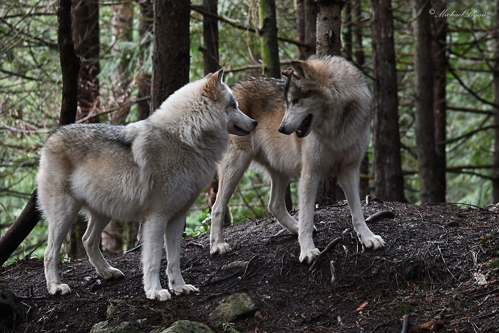 This Island Is Full Of Friendly Wolves And You Can Visit It