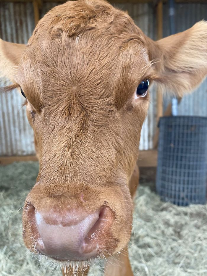 14th February 2020 Doddlebug (An Orphan Calf Who Is Now Loved Very Much)