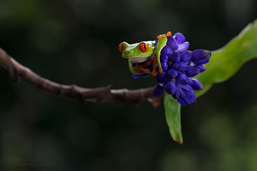 Red-Eye Leaf Frog