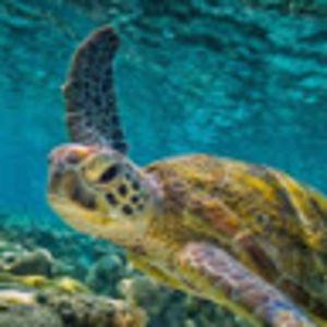 Admiral_Turtle