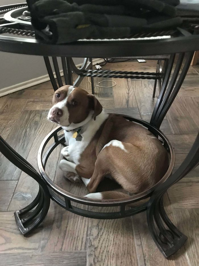"""Our Newly Adopted Dog """"Mello"""" Hides Under The Table"""