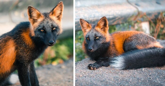 Guy Earns The Trust Of A Black And Orange Fox Shares 20 Stunning Pics Bored Panda
