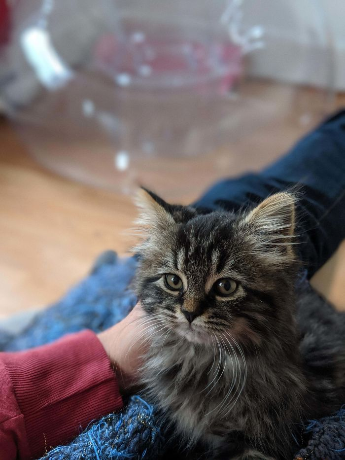 My GF Wanted To Adopt A Kitten, I Said Not Now. As Compromise Here's The Kitten