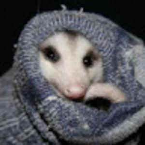 The only Plueschopossum