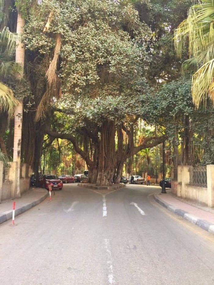 Este enorme árbol en El Cairo