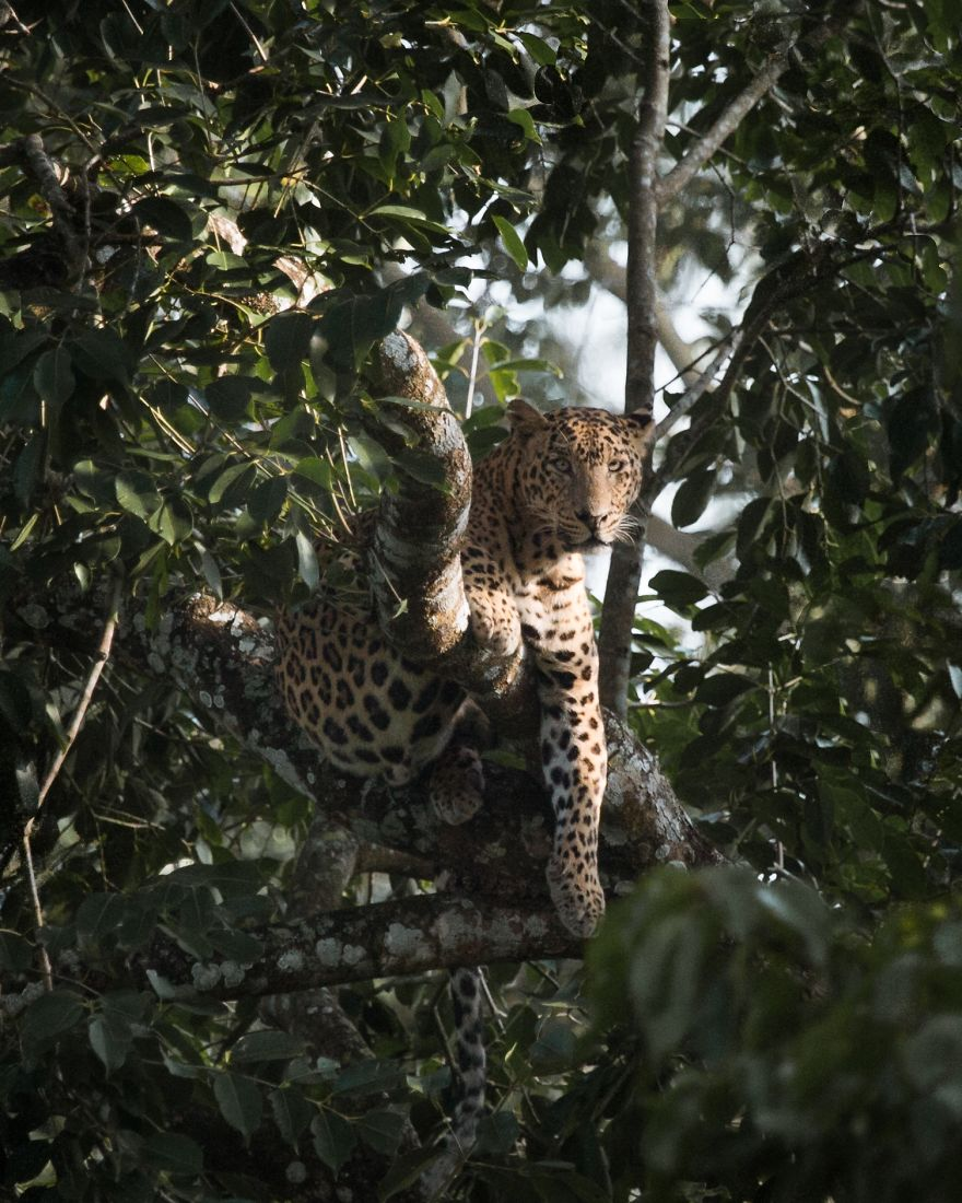 A Leopard Chilling In A Tree In The Forests Of Kabini, India