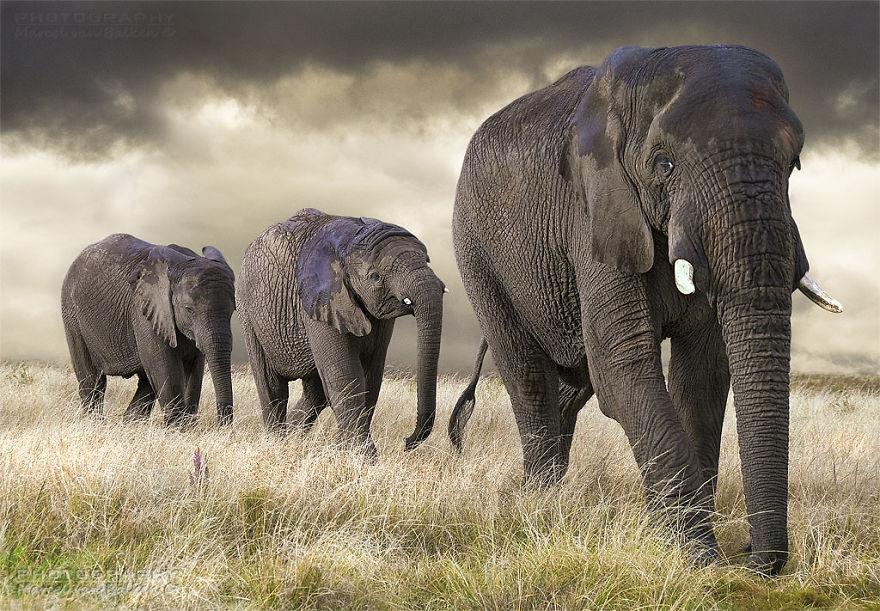 An Elephant Family Is Taking A Walk