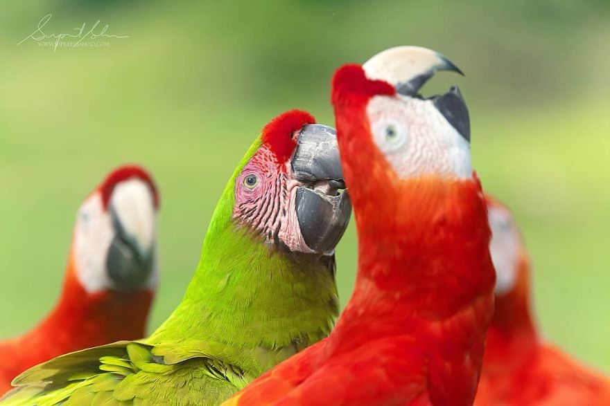 A Great Green Macaw Stands Out In A Crowd Of Scarlet Macaws