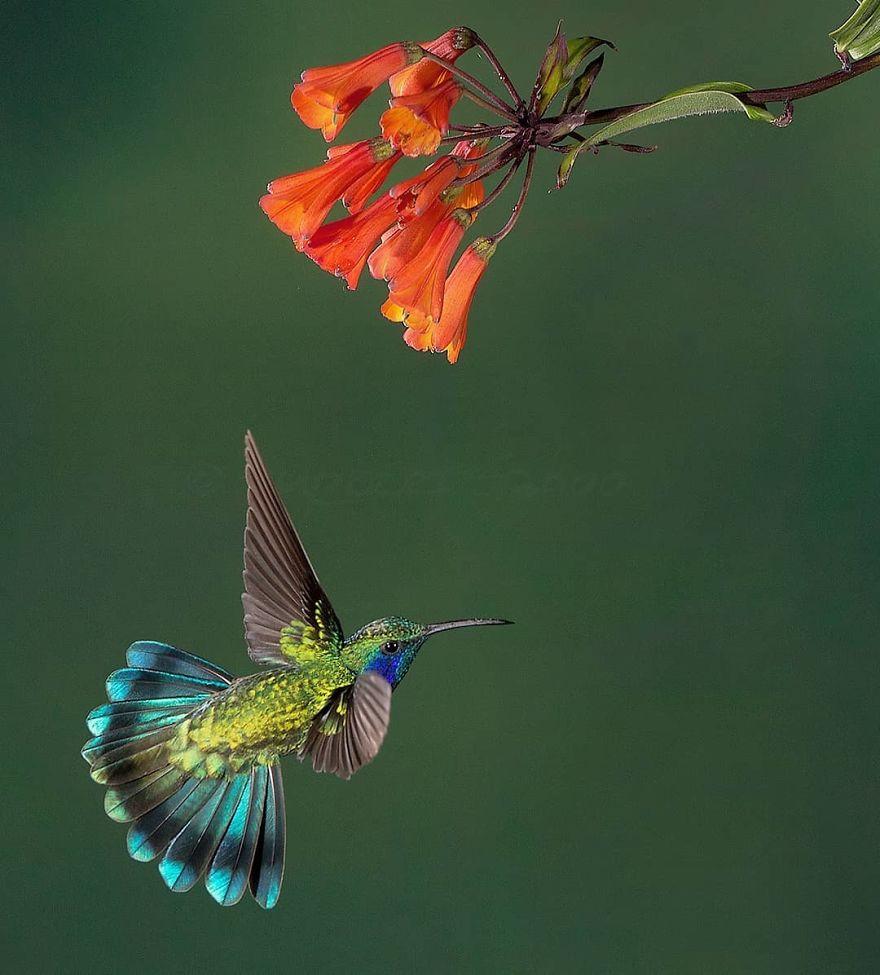 Lesser Violet Ear Hummingbird