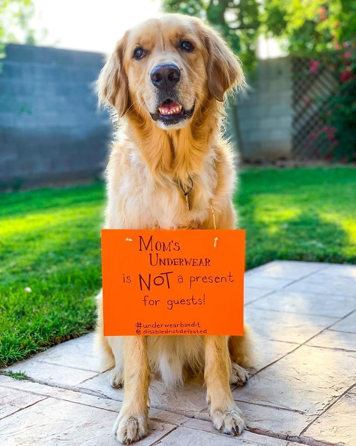"Atlas The Service Dog Sits In Front Of The Camera With A Toothy Grin Wearing A Sign That Says ""Mom's Underwear Is Not A Present For Guests"""