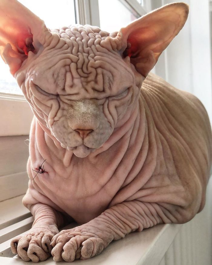 Gato calvo e sinistro pode ser nomeado o felino mais assustador do mundo