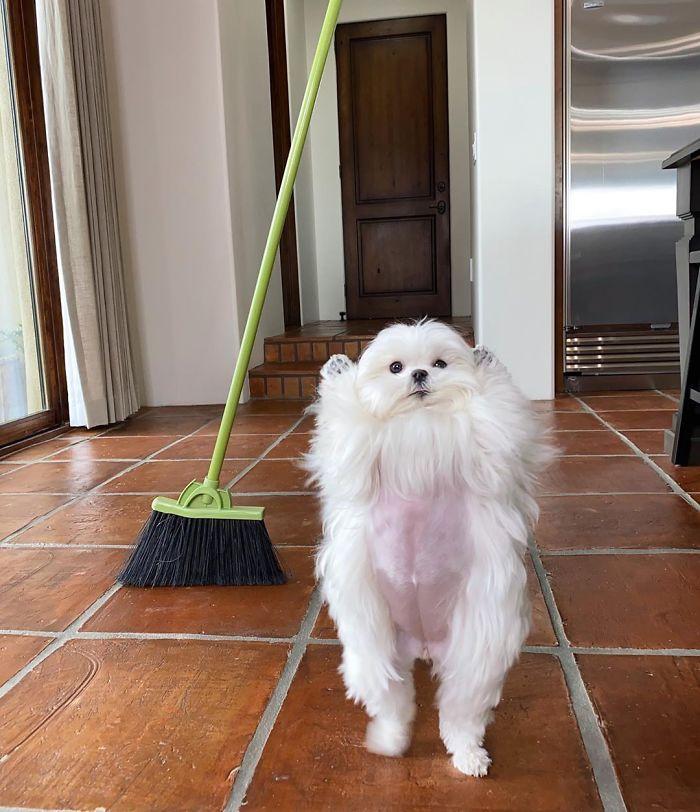 Standing-Maltese-Dog-Coco
