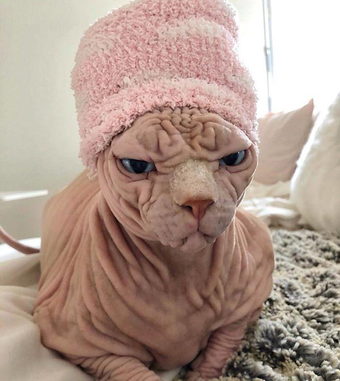 Meet Loki: The Worlds Grumpiest Sphynx Cat | Sphynx cat