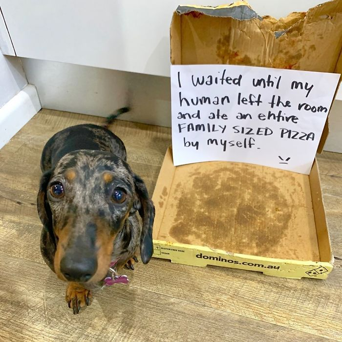 This Cute Dachshund Surely Loves Pizza