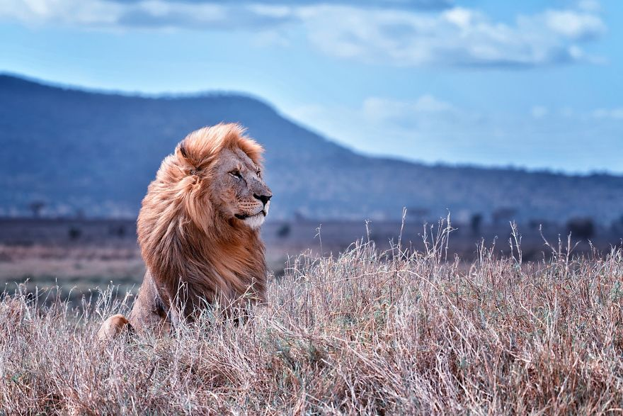 Lion Setting In The Wild
