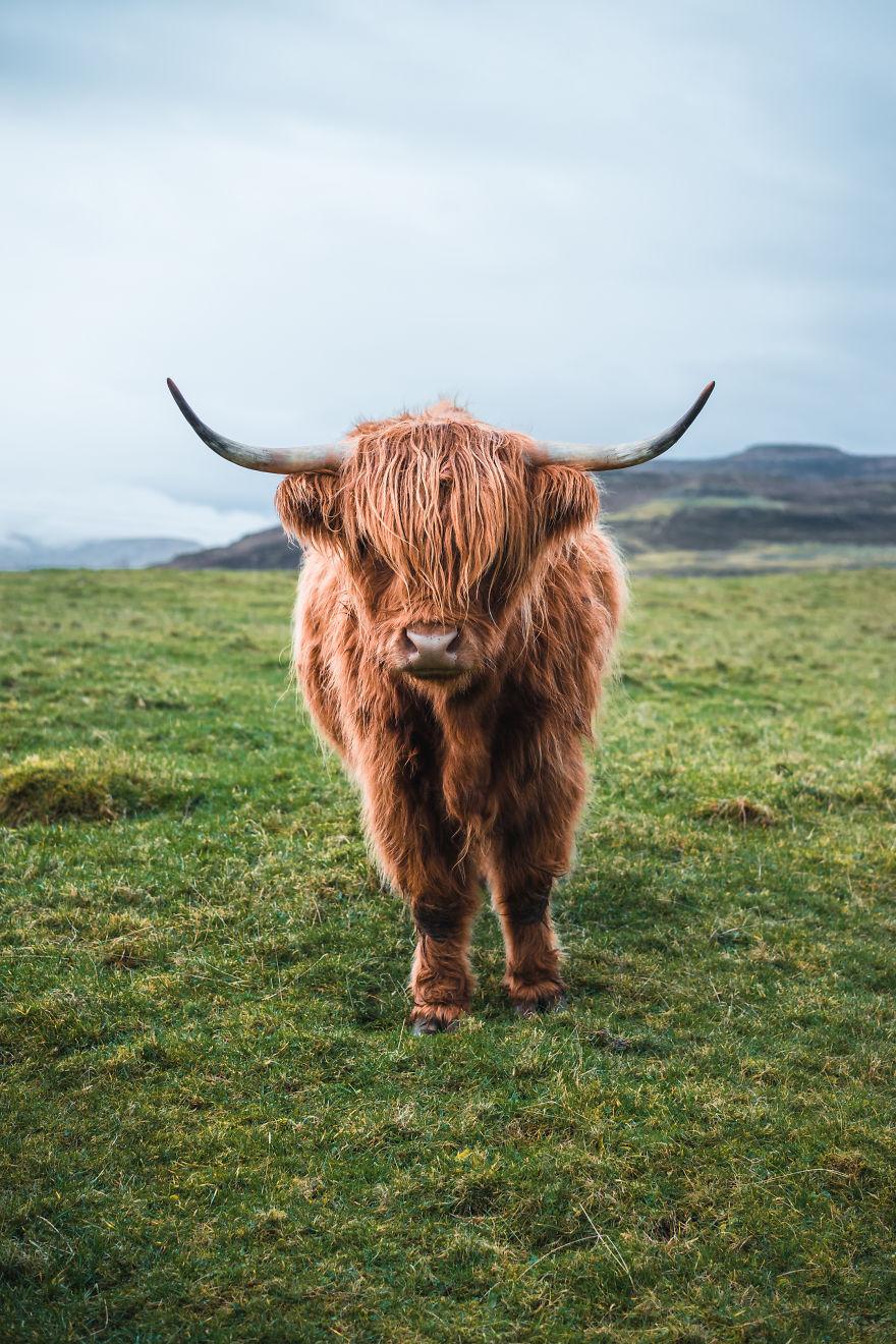 The Highland Coo