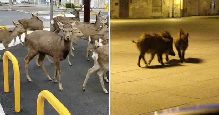 Los animales invaden las ciudades mientras la gente se encierra en casa por la cuarentena