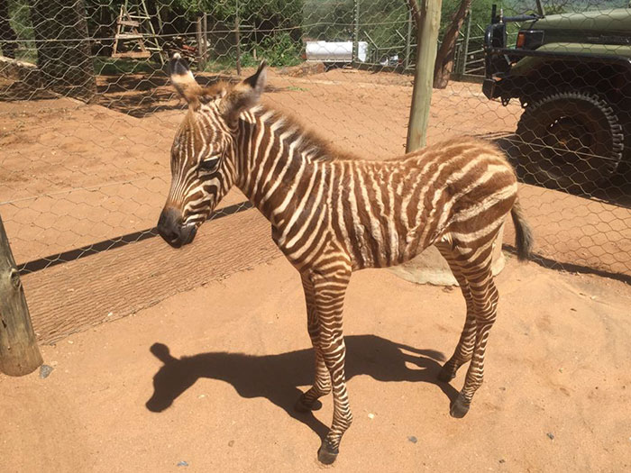 These Conservation Workers Use Special Suits To Take Care Of Baby Zebras