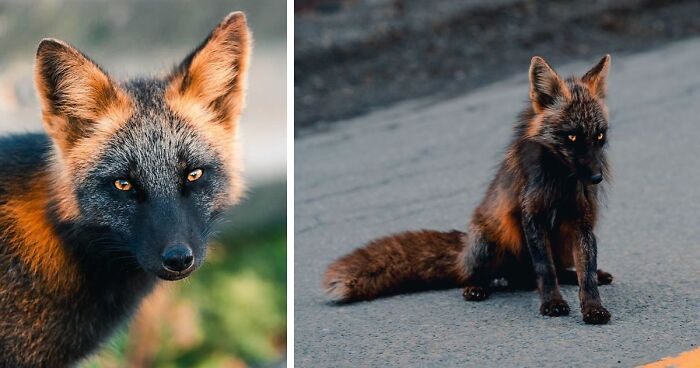 Guy Earns The Trust Of A Black And Orange Fox, Shares 20 Stunning Pics
