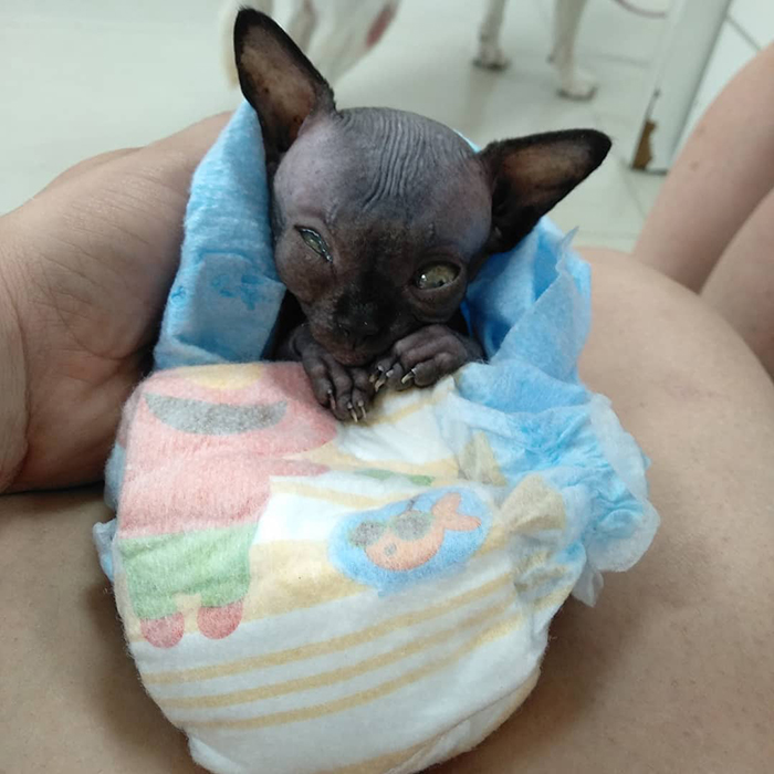 Sphynx Kitty With Rare Neurological Condition Looks Like A Bat And It Has Made Her An Online Sensation